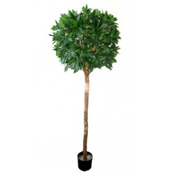Bayleaf Ficus Single Ball Topiary 1.8m
