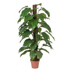 Money Plant (Aureus) - 155cm