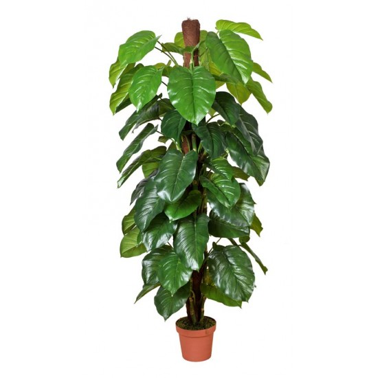 Money Plant (Aureus) 185cm