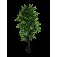 Mixed Green Bushy Ficus 180cm