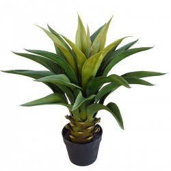 Agave 60cm Plant